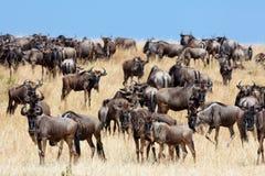 Een kudde van het meest wildebeest migreert op de savanne Stock Afbeeldingen