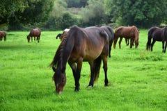 Een kudde van het weiden van paarden in Ierland, één baaipaard in de voorzijde royalty-vrije stock fotografie