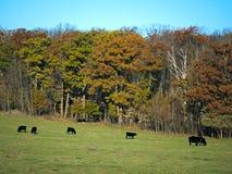Een Kudde van het Zwarte Angus Beef Cattle-weiden in weiland in de herfst royalty-vrije stock afbeeldingen