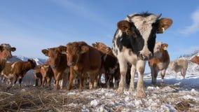 Een kudde van jonge koeien stock footage
