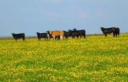 Een kudde van jonge koeien die in een de lenteweide binnen frazing kan met helder bloemen in het gras en de blauwe hemel vergelen stock foto's