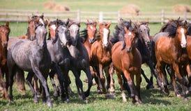 Een kudde van jonge paarden Stock Foto's