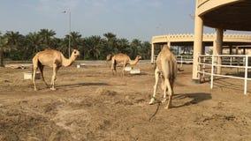 Een kudde van kamelen op het landbouwbedrijf stock video