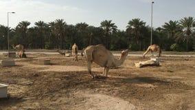 Een kudde van kamelen op het landbouwbedrijf stock videobeelden