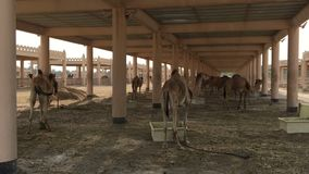 Een kudde van kamelen op het landbouwbedrijf stock footage