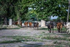 Een kudde van koeien Stock Afbeeldingen