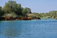 Een kudde van koeien bij het Water geven Royalty-vrije Stock Foto's