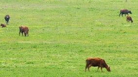 Een kudde van koeien bij het weiden op een groen gebied stock footage