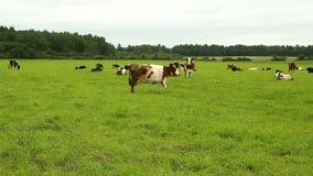 Een kudde van koeien die op gras op een gebied weiden stock footage