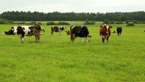 Een kudde van koeien die op gras op een gebied weiden stock video