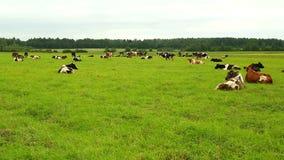 Een kudde van koeien die op het gras in het gebied liggen stock footage