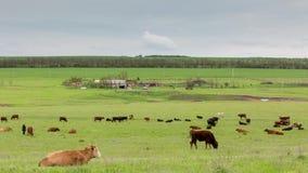 Een kudde van koeien die op weelderige groene grasweiden weiden van de uitlopers van de Kaukasus stock videobeelden