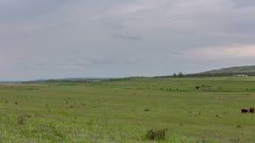 Een kudde van koeien die op weelderige groene grasweiden weiden van de uitlopers van de Kaukasus stock video