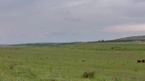 Een kudde van koeien die op weelderige groene grasweiden weiden van de uitlopers van de Kaukasus stock footage