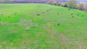 Een kudde van koeien eet gras op het gebied De mening van het vogel` s oog stock video