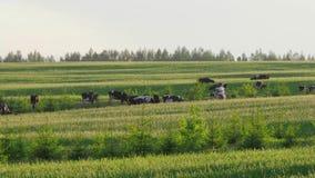 Een kudde van koeien eet groen sappig gras op een weiland op een de zomerdag 4K stock footage