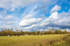 Een kudde van koeien op de herfstgebied Stock Afbeelding