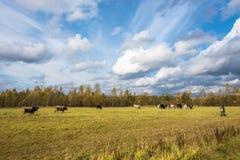 Een kudde van koeien op de herfstgebied Royalty-vrije Stock Afbeelding