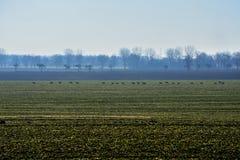 Een kudde van kuiten op een gebied Royalty-vrije Stock Foto