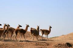 Een kudde van lama's (Guanaco) Royalty-vrije Stock Foto
