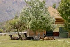 Een kudde van lama's ligt in de schaduw onder een boom stock afbeelding