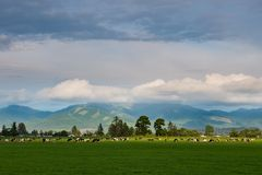 Een kudde van melkvee door de het plaatsen zon onder de aandacht die wordt gebracht die in een groen weiland weiden dat royalty-vrije stock afbeeldingen
