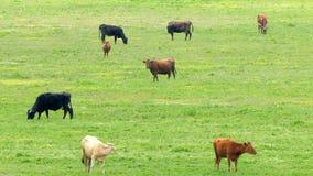 Een kudde van multicolored koeien die op het gebied weiden stock footage