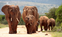 Een kudde van olifant het approching stock afbeelding