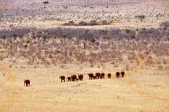 Een kudde van olifanten Royalty-vrije Stock Foto's