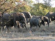 Een kudde van olifanten stock foto