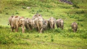 Een kudde van olifantenvolwassenen en welpen die groep lopen Royalty-vrije Stock Afbeeldingen