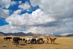 Een kudde van paarden Royalty-vrije Stock Afbeelding