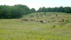 Een kudde van paarden die in de weide weiden stock footage