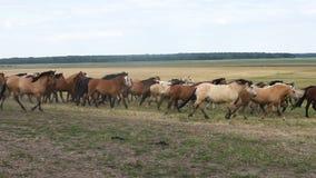 Een kudde van paarden loopt rond het gebied stock video
