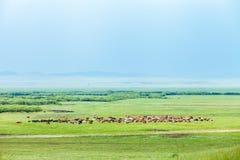 Een kudde van paarden op Ulagai-Steppegebied Stock Foto's