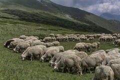 Een kudde van schapen in bergen Stock Foto