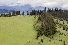 Een kudde van schapen die op de Karpatische bergen weiden Royalty-vrije Stock Foto