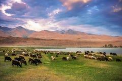 Een kudde van schapen en geiten die dichtbij het meer bij de voet van t weiden royalty-vrije stock foto