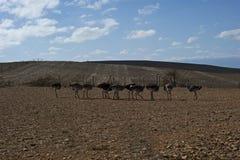 Een kudde van struisvogels op een gebied royalty-vrije stock afbeeldingen