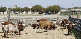 Een Kudde van Texas Longhorn Cattle, de Veekralen van Fort Worth Stock Fotografie