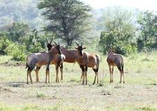 Een kudde van Topi-antilopen royalty-vrije stock fotografie