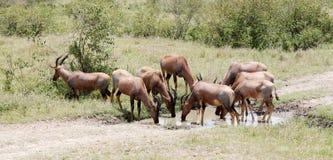 Een kudde van Topi-antilopen drinkwater stock foto's