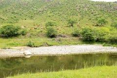 Een kudde van vee weidt Stock Afbeelding