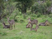 Een Kudde van Waterbuck in Madikwe, Zuid-Afrika Royalty-vrije Stock Fotografie