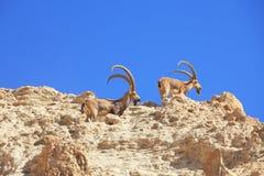 Een kudde van wilde geiten, met hoornen het weiden Stock Foto's