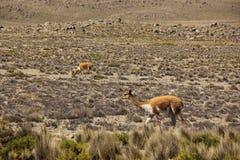 Een kudde van wilde Vicuna weidt stock afbeeldingen
