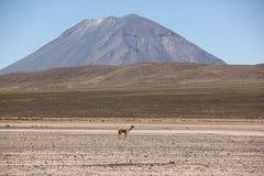 Een kudde van wilde Vicuna weidt stock foto's