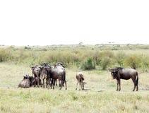 Een kudde van Wildebeests in savanne Royalty-vrije Stock Afbeeldingen