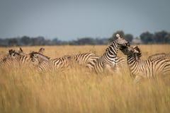 Een kudde van Zebras-het spelen in het gras Royalty-vrije Stock Fotografie