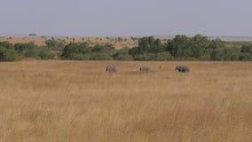 Een Kuddeolifanten met zich Baby het Bewegen over Gebied van de Afrikaanse Savanne 4K stock footage